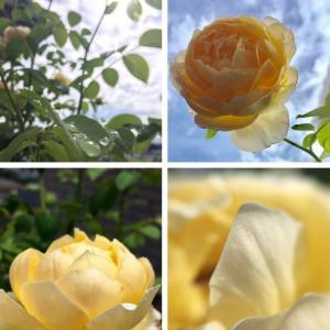 ふるさと納税の薔薇