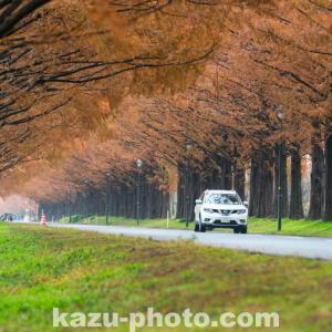 マキノ高原で撮影したメタセコイア並木の写真@志賀の紅葉スポット