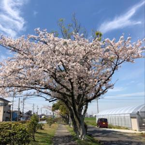 桜散る中10km花見RUN