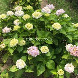 紫陽花の季節 ・ 梅雨は嫌でも花の美しさに癒される