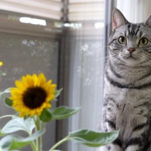 猫と秋ひまわり/猫が寄ってくる音【猫動画】