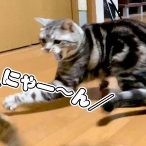 にゃーん!と鳴きながら遊ぶ猫が超かわいい