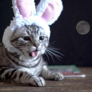 お月見なので猫がうさぎになってみました