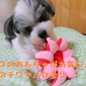 噛みすぎだって!タコのおもちゃがお気に入りのチワマルひまり。