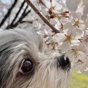【桜満開】花より散歩のチワマルひまり。