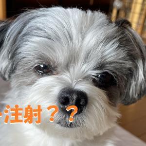 【狂犬病予防接種】注射が嫌いなひまりと病院へ。