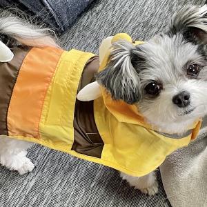 雨の日。久しぶりにカッパを着るチワマルひまり。