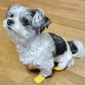 犬用の靴下を試すチワマルひまり。果たして…