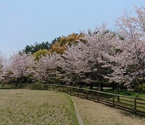 やっぱりいつもの桜がしっくりくる