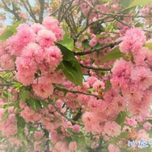 新宿でお花見をするなら新宿御苑 新宿御苑で晩春の桜 八重桜を堪能しました!