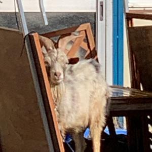 カーペット洗うコインランドリーの最中に近所のヤギを見に行く。