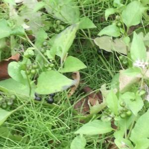 秋の草 イヌホオズキ
