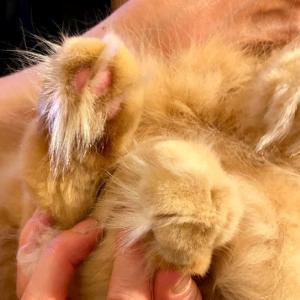 猫の肉球周りの毛切り