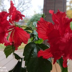 雪国の床暖房で南国の花が通年開花!?ハイビスカスが咲きました