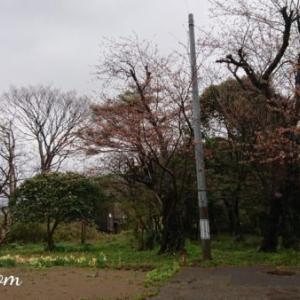 春のリンクテラス「開花宣言」風の丘の我が家に桜前線到来