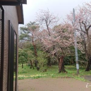 それでも凛と咲いている「なごり雪と三分咲き桜」