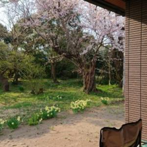五分咲き桜「春の味覚ふるさとの筍」