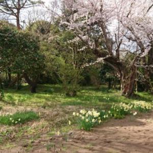 七分咲き桜「タイヤ交換する?しない?」
