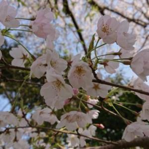 海風に舞った満開の桜