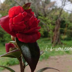 雪椿「いろり火」と若葉桜