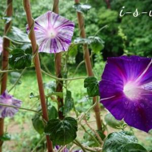 夏のリンクテラス「江戸風情」和モダン絞り咲き朝顔