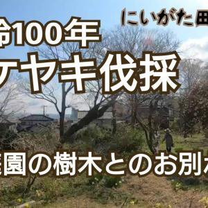 【動画】樹齢100年欅ケヤキ伐採「ありがとう庭園の樹木たち」