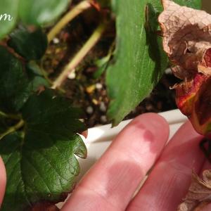 幻のいちご「越後姫」大雪を乗りこえ越冬!古い枯れ葉の処理