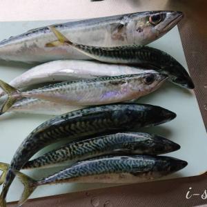 釣行 | 海釣りシーズン到来「鯖が大漁だ~」