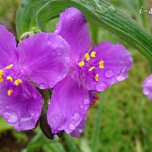 五月雨の庭のムラサキツユクサ