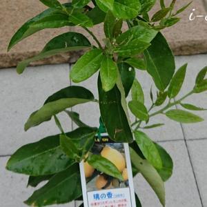 自宅で果樹を育てよう!レモン璃の香(りのか)春の剪定と新芽