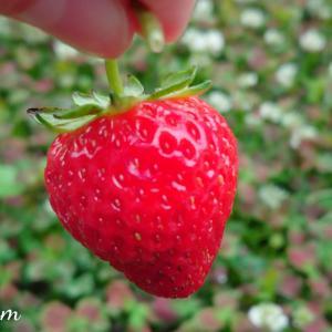 「よつぼし苺」ようやく初収穫
