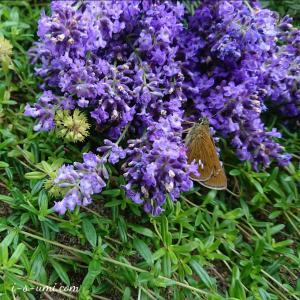 風のテラスガーデン「6月のラベンダー摘み」