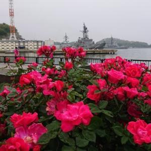買い物帰り 横須賀ヴェルニー公園のバラ