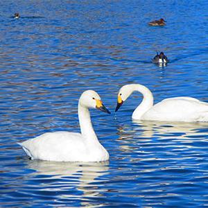 白鳥飛来!新潟市近郊のプチ観光なら瓢湖がおすすめ。名物白鳥おじさん登場の時間帯は?