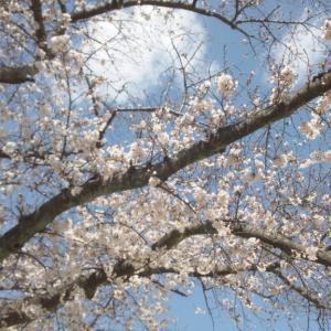 四日市の桜開花状況