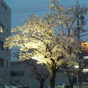 ここ四日市で桜が満開