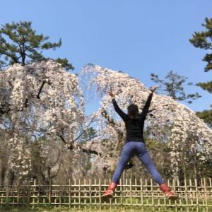 通勤路の京都御苑 近衛邸跡のしだれ桜が満開