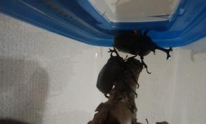 【注意!!※虫画像有り】野生のカブトムシは強い!