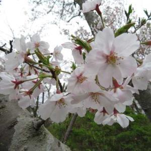 花曇りの桜@I緑地
