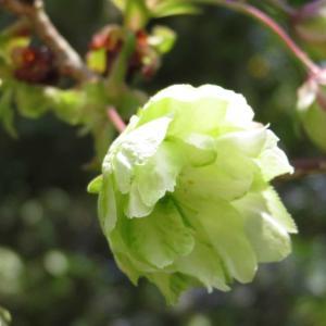 春の花2@伏見稲荷