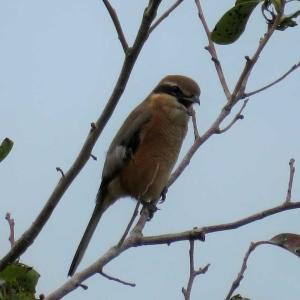 モズ2@庭先に来る野鳥