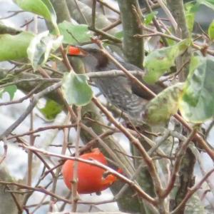 柿を啄むヒヨドリ@庭先に来る野鳥