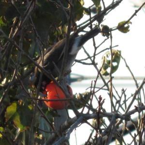 柿を啄むムクドリ@庭先に来る野鳥