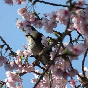 桜にヒヨドリ・スノーフレーク@I緑地