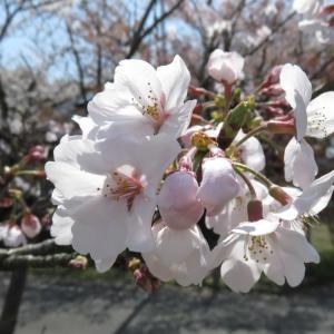 桜満開@I緑地