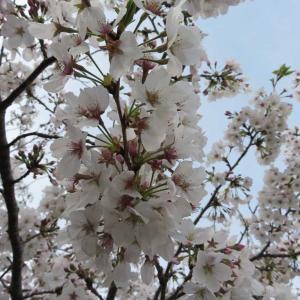最寄りの桜