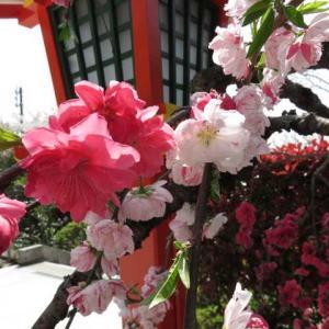 春の花2021@伏見稲荷