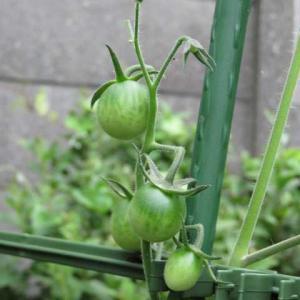 トマト栽培中@植木鉢