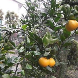 スイートな冬の果実