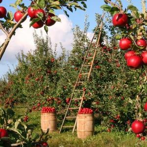 一日ちょっとリンゴ酢を飲むだけで 健康的にダイエット リンゴ酢とは?? リンゴ酢の効能 簡単ダイエット
